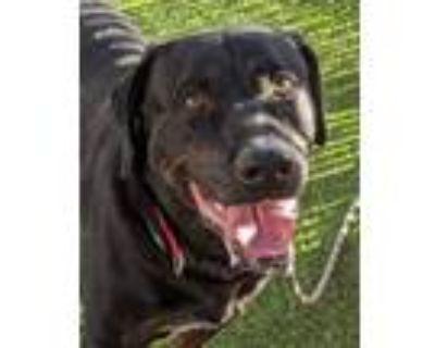 Adopt BUDDY prev Warlock a Labrador Retriever, Rottweiler