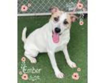 Adopt EMBER see also Buster a White - with Brown or Chocolate Hound (Unknown
