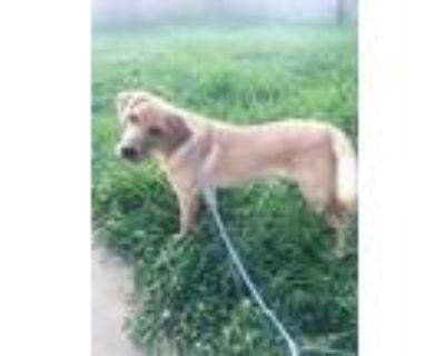 Adopt Butterscotch Labington a Labrador Retriever