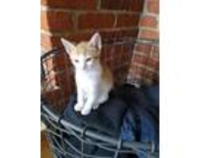 Adopt SAMPSON a Domestic Shorthair / Mixed (short coat) cat in Gloucester