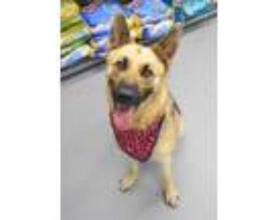 Adopt King a Tan/Yellow/Fawn German Shepherd Dog / Mixed dog in Greenwood