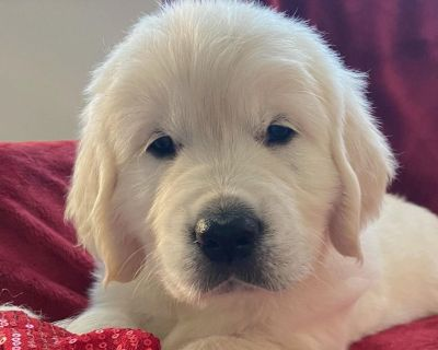 English Cream Golden Retriever pups