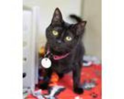 Adopt GOLDIE a All Black Domestic Shorthair / Mixed (short coat) cat in