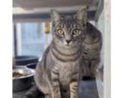 Adopt Mika a Domestic Short Hair