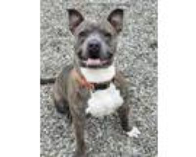 Adopt CLAY a Brindle American Pit Bull Terrier / Mixed dog in Lincolnton
