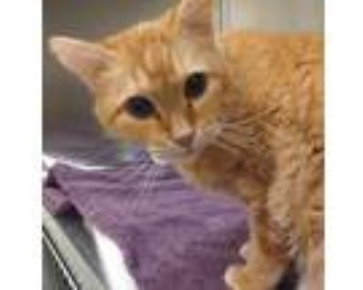 Adopt Sunflower a Domestic Shorthair / Mixed cat in Golden, CO (32063410)