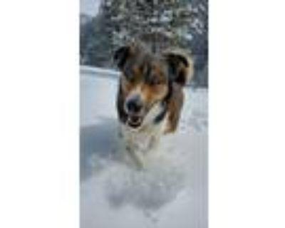 Adopt Shiloh a Tricolor (Tan/Brown & Black & White) Husky / Australian Shepherd
