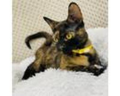 Adopt Frannie Krueger a American Shorthair