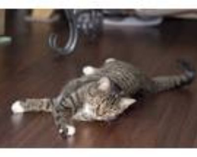 Adopt Miss Kitty a Tiger Striped American Shorthair / Mixed (short coat) cat in