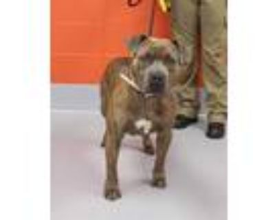 Adopt LAY-Z a Brindle American Pit Bull Terrier / Mixed dog in Louisville