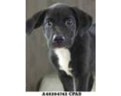 Adopt Apple Jacks a Black Labrador Retriever / Mixed dog in Shreveport
