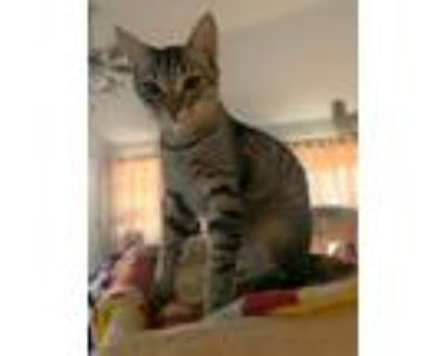 Adopt Baxter a Brown Tabby Domestic Shorthair (short coat) cat in Mansfield