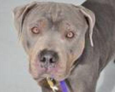 Adopt LEO a Gray/Blue/Silver/Salt & Pepper Pit Bull Terrier / Doberman Pinscher