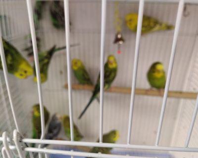 Parakeets $5 Each