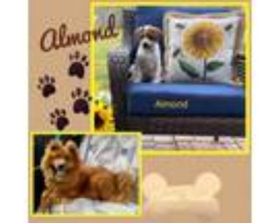 Adopt Almond a White - with Tan, Yellow or Fawn Chow Chow / Mixed dog in El