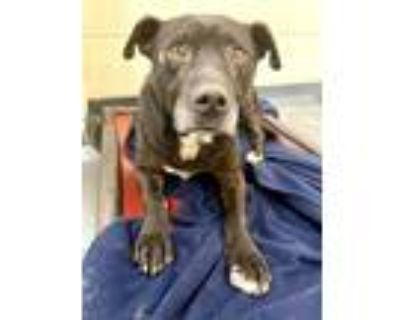 Adopt SPUMONI a Black - with White Labrador Retriever / Mixed dog in