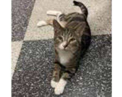 Phoenix, Domestic Shorthair For Adoption In Virginia Beach, Virginia
