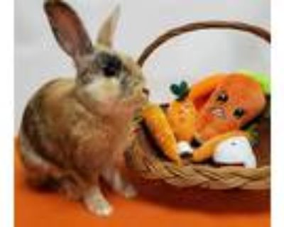 Adopt TIGER a Fawn Other/Unknown / Mixed rabbit in Hayward, CA (30462092)