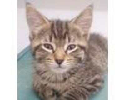 Adopt Potato Chip a Brown or Chocolate (Mostly) Domestic Shorthair / Mixed cat