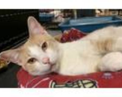 Adopt Jack a Cream or Ivory (Mostly) Domestic Shorthair / Mixed (short coat) cat
