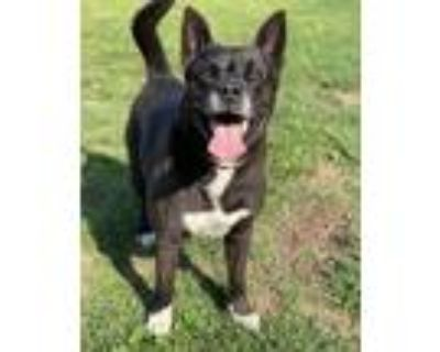 Adopt Taz a Black - with White Akita / American Pit Bull Terrier / Mixed dog in