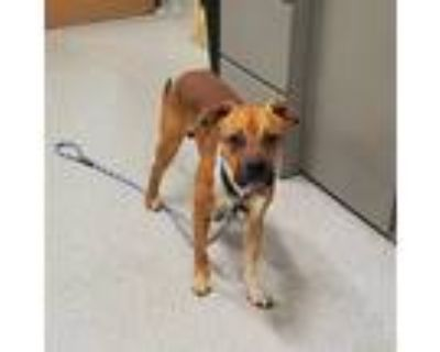 Adopt DA BABY a Brown/Chocolate - with White Boxer / Mixed dog in Louisville