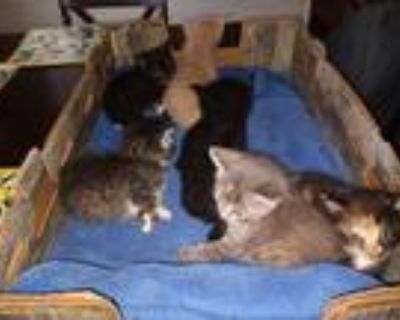 Adopt 5 kittens 1 cat a Black (Mostly) Domestic Shorthair / Mixed (short coat)