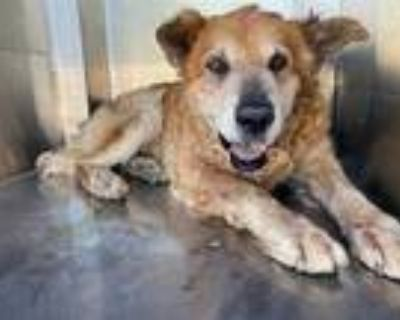 Adopt a Brown/Chocolate - with Tan Chow Chow / Golden Retriever / Mixed dog in