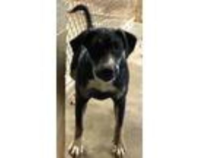 Adopt Tracker a Black - with White Labrador Retriever / Pit Bull Terrier / Mixed