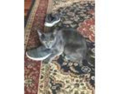 Adopt Joe a Gray or Blue Russian Blue (short coat) cat in San Ramon