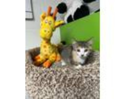 Adopt Samantha a Calico or Dilute Calico Domestic Shorthair (short coat) cat in