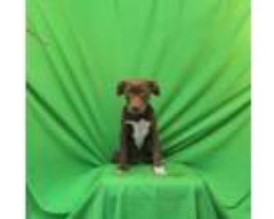 Adopt Cookie a Chocolate Labrador Retriever, Labrador Retriever