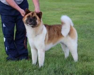 Akita Puppy for Sale - Yeti