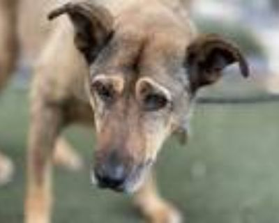 Adopt BROWNIE a Brown/Chocolate - with Black German Shepherd Dog / Mixed dog in