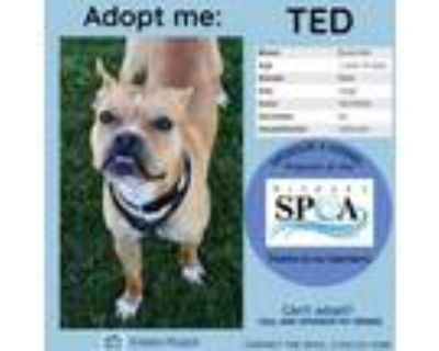 Adopt Ted a Tan/Yellow/Fawn Boxer / Mixed dog in Niagara Falls, NY (31645008)