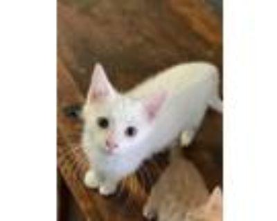 Adopt White Claw a Domestic Short Hair