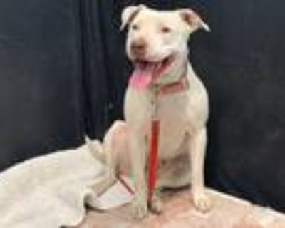 Adopt DUCKY a White American Pit Bull Terrier / Mixed dog in Lancaster