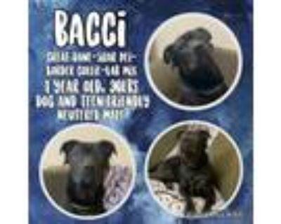 Adopt Bacci a Labrador Retriever, Border Collie