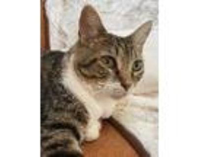 Adopt Sammy a Domestic Shorthair / Mixed cat in Claremore, OK (30925235)