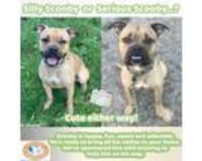 Adopt Scooby a Boxer, Pit Bull Terrier