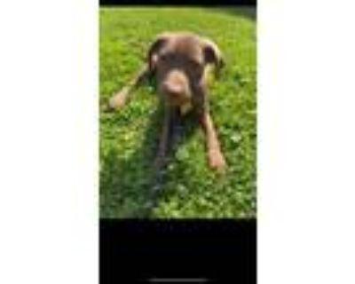 Adopt Murial a Labrador Retriever