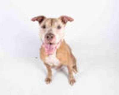 Adopt BLAZE a Brown/Chocolate - with White American Pit Bull Terrier / Mixed dog