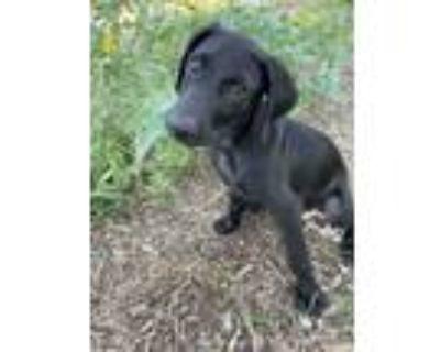 Adopt Charlie a Black Labrador Retriever / Mixed dog in Denver, CO (31947939)