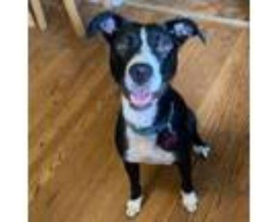 Adopt Beautiful Summer of 69 a Border Collie
