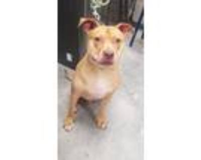 Adopt Comet a Pit Bull Terrier