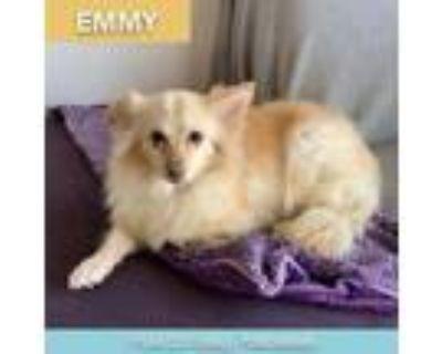 Adopt Emmy a Pomeranian