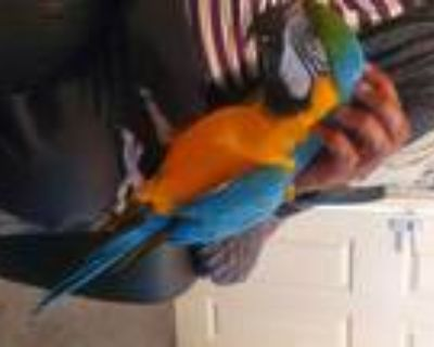 Adoption!! Hand Raised and Tame Super Intelligent Pair of Blue and Gold Macaw
