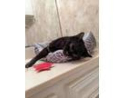 Adopt Baby a All Black Domestic Shorthair / Domestic Shorthair / Mixed cat in