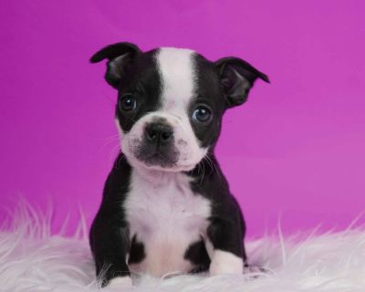 Beautiful AKC Boston Terrier Puppies Available and Ready Now