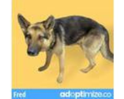 Adopt FRED a German Shepherd Dog
